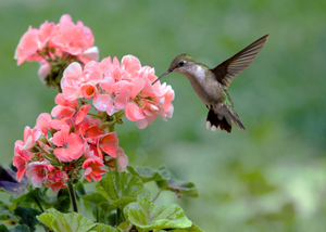 Hummingbird-at-Flower