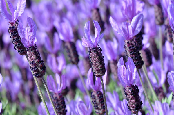 purple-spanish-lavender-flower-brandon-bourdages